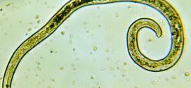 Les nématodes: des vers intestinaux